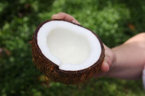 Kokosnuss einer Kokospalme